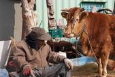 牛鈴之聲:老牛活滿40歲,意外使《牛鈴之聲》成本爆增,卻也在韓國