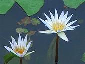 20050614台南白河花花草草集:CIMG1325