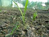 黑豆成長紀錄104四甲:雜草比豆高-該除草了.JPG