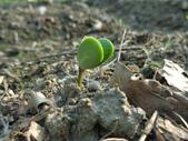 黑豆成長紀錄104四甲:子葉長出地面-1.JPG