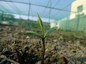 黑豆成長紀錄104四甲:子葉長出地面-3.JPG