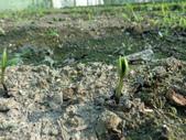 黑豆成長紀錄104四甲:104.10.12萌芽-5天-1.JPG