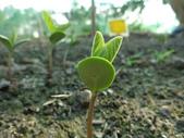 黑豆成長紀錄104四甲:子葉長出地面-2.JPG