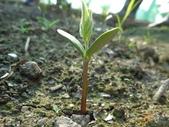 黑豆成長紀錄104四甲:子葉長出地面-4.JPG