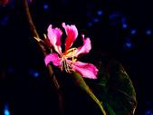 燕紫荊.:DSCN9854_副本.jpg