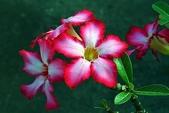 沙漠玫瑰:DSCN4741_副本.jpg