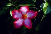 沙漠玫瑰:DSCN4746_副本.jpg