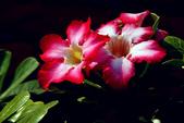 沙漠玫瑰:DSCN4762_副本.jpg
