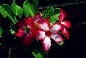 沙漠玫瑰:DSCN4748_副本.jpg