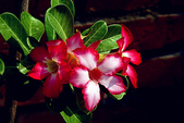 沙漠玫瑰:DSCN4750_副本.jpg