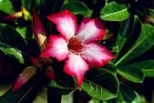 沙漠玫瑰:DSCN4754_副本.jpg