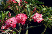 沙漠玫瑰:DSCN4755_副本.jpg