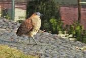鳥類:DSCN4042.JPG