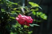 玫瑰花:DSC_6225.JPG