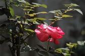 玫瑰花:DSC_6227.JPG