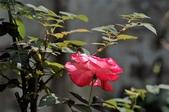 玫瑰花:DSC_6228.JPG