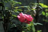 玫瑰花:DSC_6230.JPG