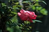 玫瑰花:DSC_6234.JPG