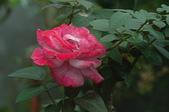 玫瑰花:DSC_6236.JPG