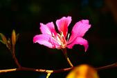 燕紫荊.:DSCN9878_副本.jpg
