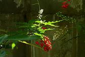 珍珠一串紅:DSCN9506.JPG