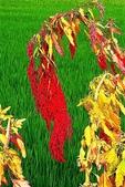 紅藜.:DSCN5576_副本.jpg