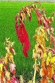 紅藜.:DSCN5577_副本.jpg