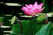 蓮花:DSCN1792_副本.jpg