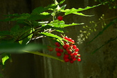 珍珠一串紅:DSCN9510.JPG