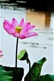 蓮花:DSCN1801_副本.jpg