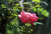 玫瑰花:DSC_6232.JPG