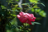 玫瑰花:DSC_6233.JPG