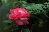 玫瑰花:DSC_6235.JPG