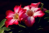 沙漠玫瑰:DSCN4760_副本.jpg