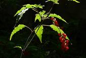 珍珠一串紅:DSCN9508.JPG