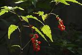 珍珠一串紅:DSCN9519.JPG