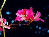 燕紫荊.:DSCN9862_副本.jpg