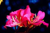 燕紫荊.:DSCN9868_副本.jpg