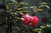 玫瑰花:DSC_6226.JPG