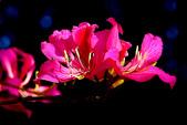 燕紫荊.:DSCN9885_副本.jpg