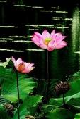 蓮花:DSCN1783_副本.jpg
