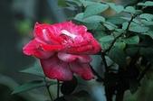 玫瑰花:DSC_6240.JPG
