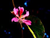 燕紫荊.:DSCN9857_副本.jpg