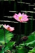 蓮花:DSCN1784_副本.jpg