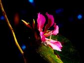 燕紫荊.:DSCN9864_副本.jpg