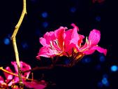 燕紫荊.:DSCN9871_副本.jpg