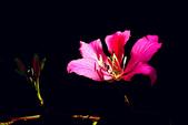 燕紫荊.:DSCN9874_副本.jpg
