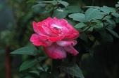 玫瑰花:DSC_6237.JPG