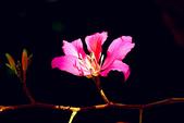 燕紫荊.:DSCN9879_副本.jpg