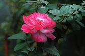 玫瑰花:DSC_6238.JPG